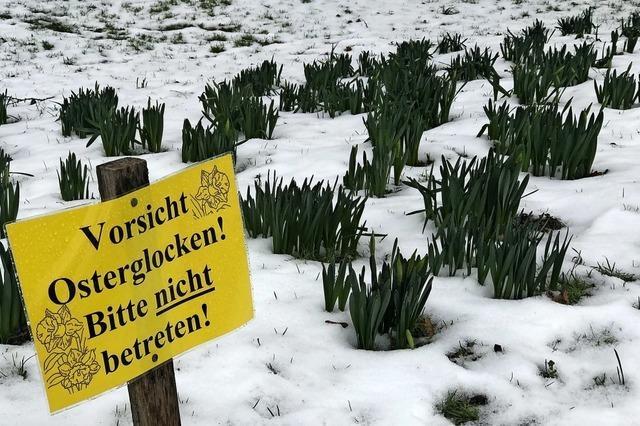 Gestern noch im Schnee – demnächst willkommene Frühlingsboten