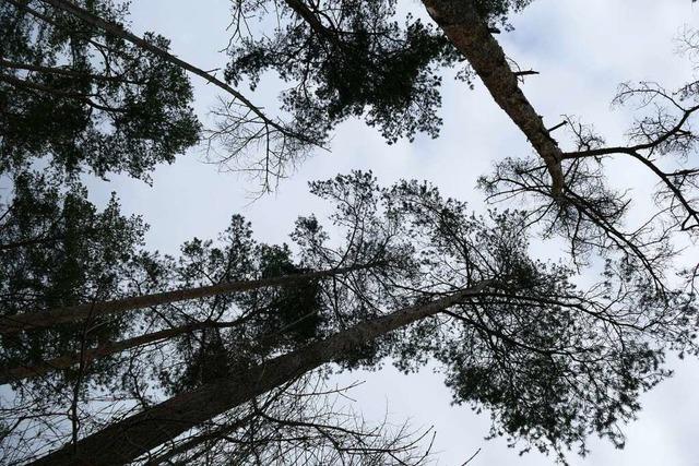 Warum Forstexperten empfehlen, den Rheinwald sich selbst zu überlassen