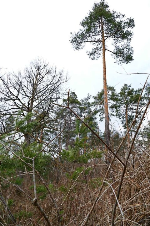 In einem Teil des Breisacher Stadtwald...ar der Wald ganz natürlich entwickelt.  | Foto: Susanne Ehmann