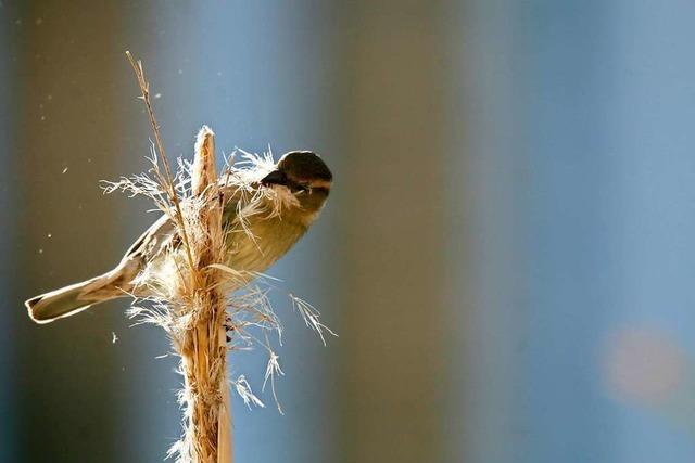 Trotz der Kälte bauen Haussperlinge im Rieselfeld schon ihr Nest