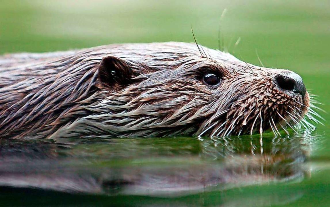 Nicht alle freuen sich über die Rückkehr des Fischotters.  | Foto: A2070 Rolf Haid