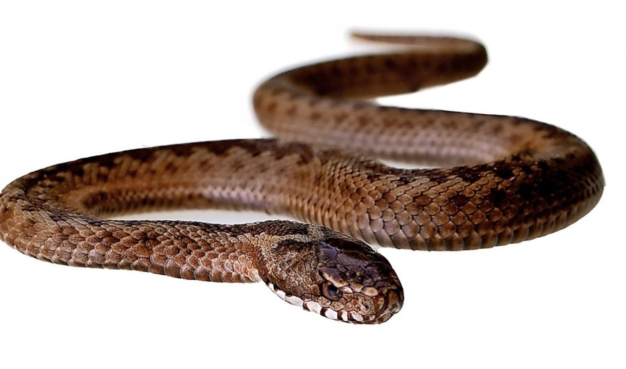 Eine von zwei giftigen Schlangenarten in Deutschland: die Kreuzotter  | Foto: Ray - stock.adobe.com