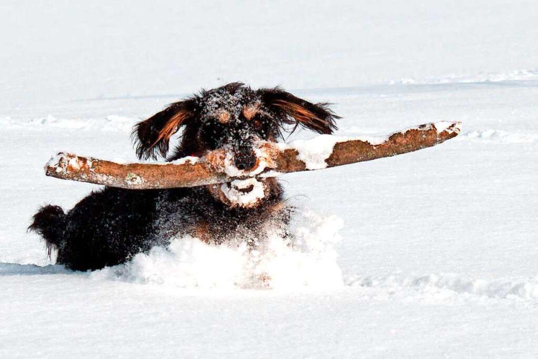 Jagdhund-Dame Anni aus Löffingen ist s...ls). Doch die Saukälte lässt sie kalt.  | Foto: Wolfgang Scheu