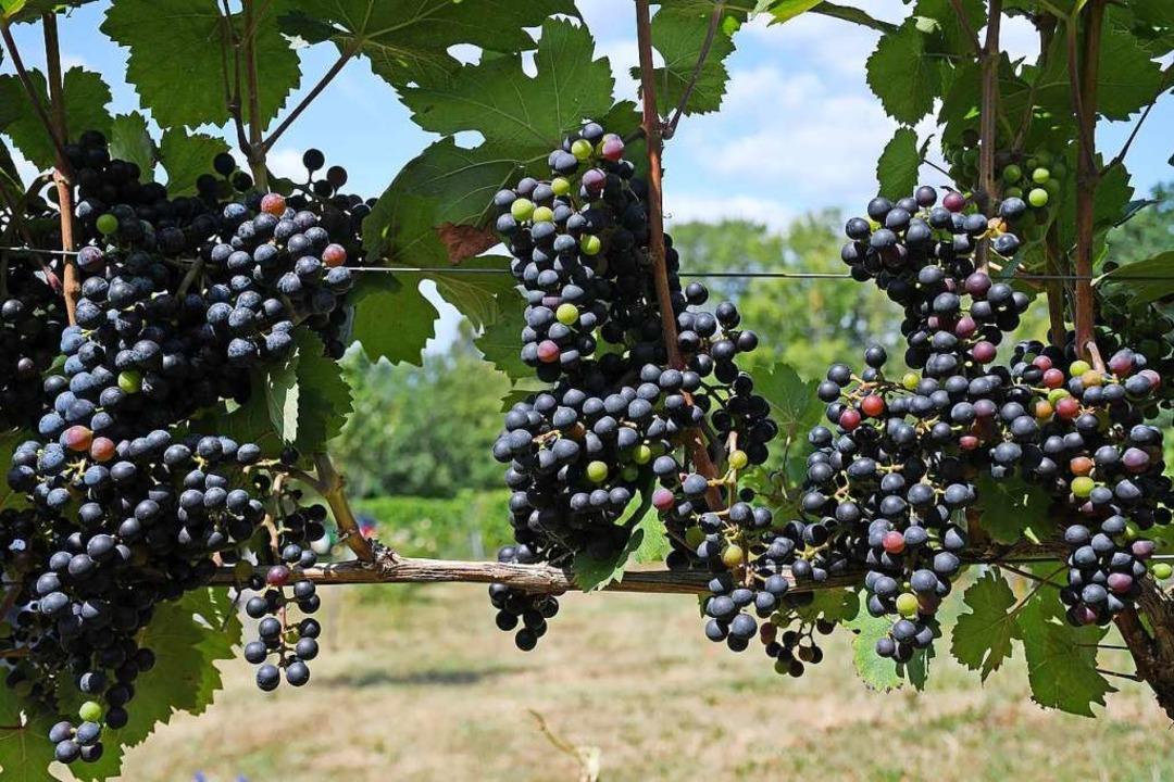Piwi-Rotweine werden geschmacklich in Italien oder Spanien verortet.  | Foto: Peter Zschunke