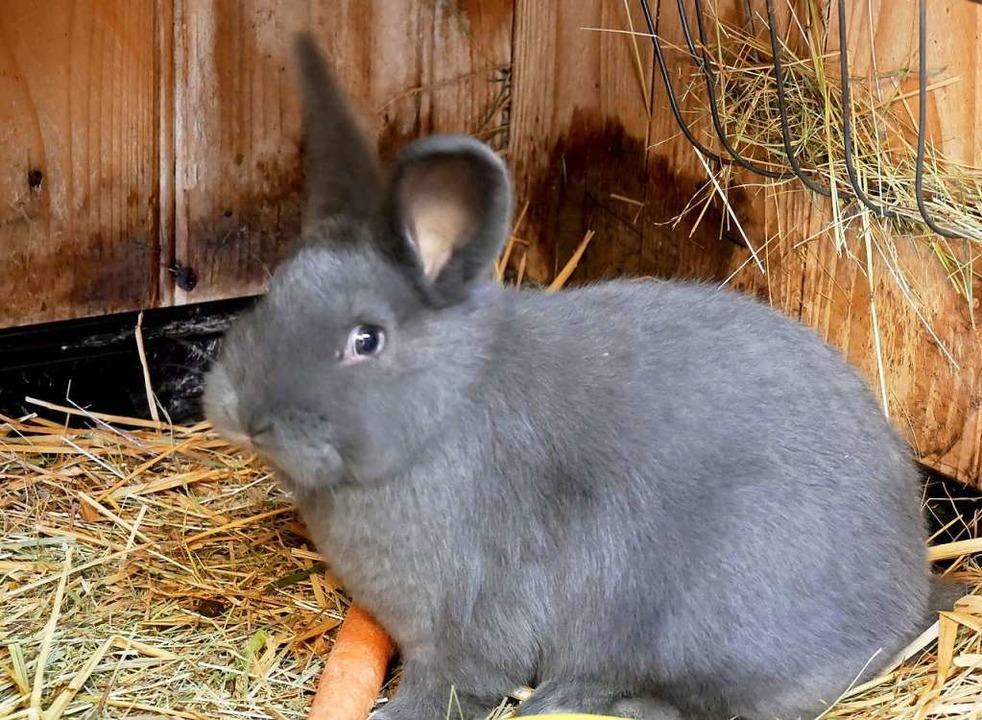 Auch die Kleintierzüchter spüren mehr ... junger Blauer Wiener in seinem Stall.    Foto: Eva Korinth
