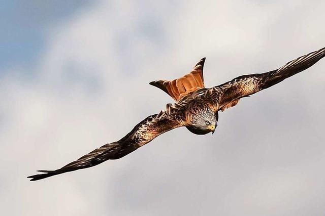 Rotmilan vs. Windkraft – Wenn Artenschutz und Klimaschutz kollidieren