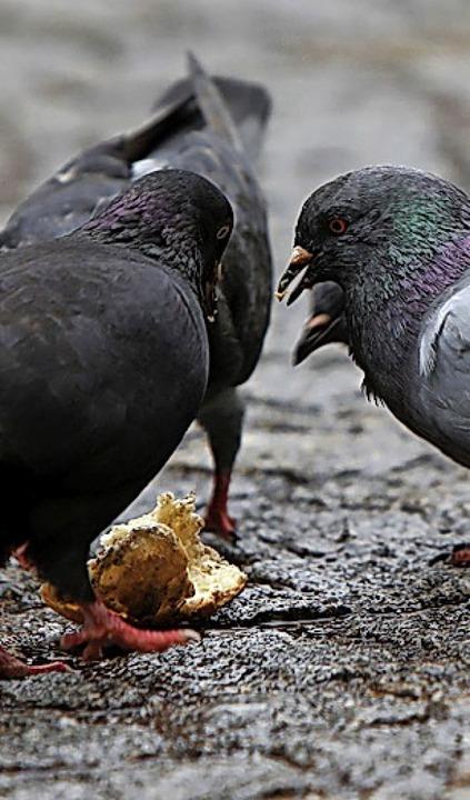 Stadttauben auf Nahrungssuche  | Foto: Christoph Breithaupt