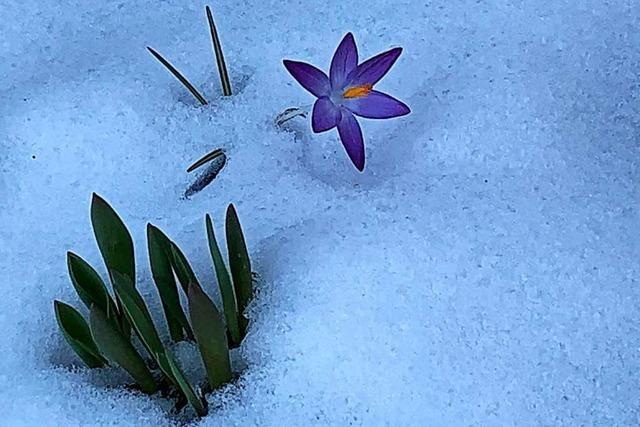 Krokusse recken in der March ihr Köpfchen im Schnee