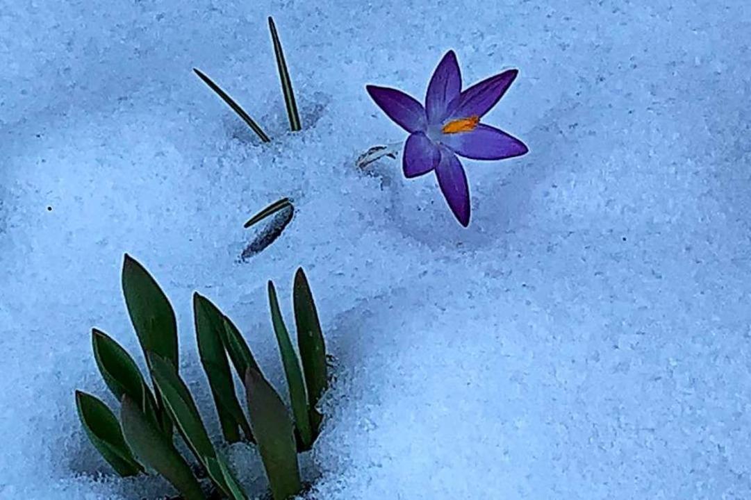 Krokusse im Schnee.  | Foto: Ute Klingk
