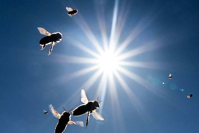 Würde die Menschheit ohne Bienen wirklich aussterben?