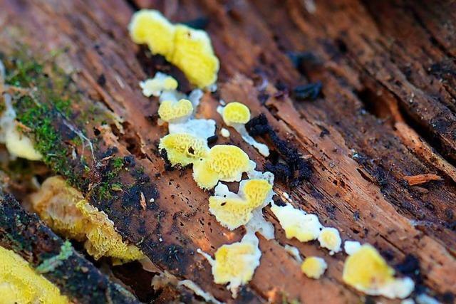 Gelbe Diva unter den Pilzen im Forstbezirk Hochschwarzwald entdeckt