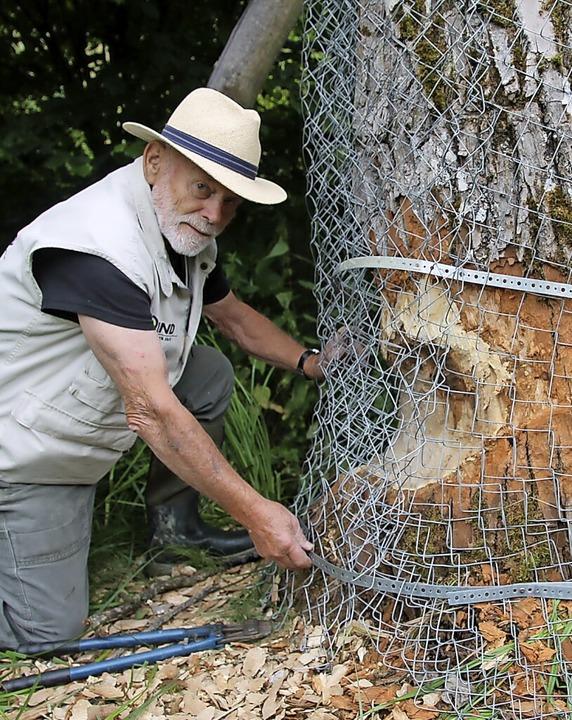 Zusätzliche Schäden richtete ein Biber... schützt einen Baum mit  Maschendraht.    Foto: