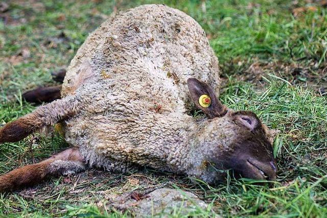 Wolf oder Hund? Bei Steinen ist ein gerissenes Schaf gefunden worden