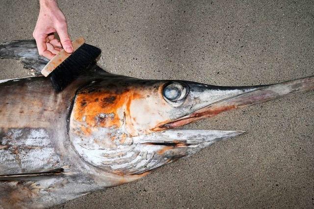 Verirrter Schwertfisch wird für Modell abgegossen