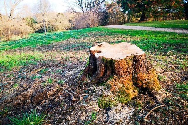 Warum die Stadt Lörrach wieder Bäume fällt