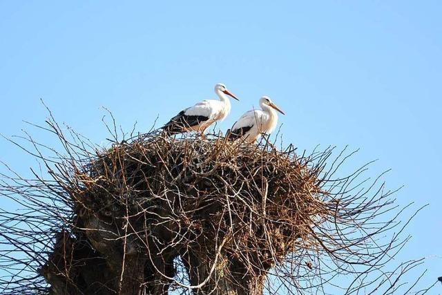Die meisten Nester sind im Storchendorf Holzen sind schon besetzt