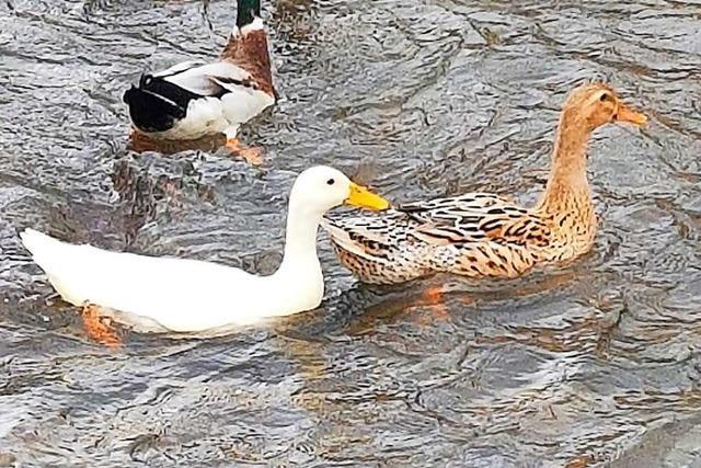 Diese weiße Elz-Ente bei Buchholz-Batzenhäusle ist ein seltener Vogel