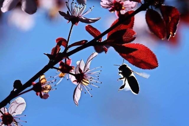 Bienen, Blüten und der volkswirtschaftliche Nutzen