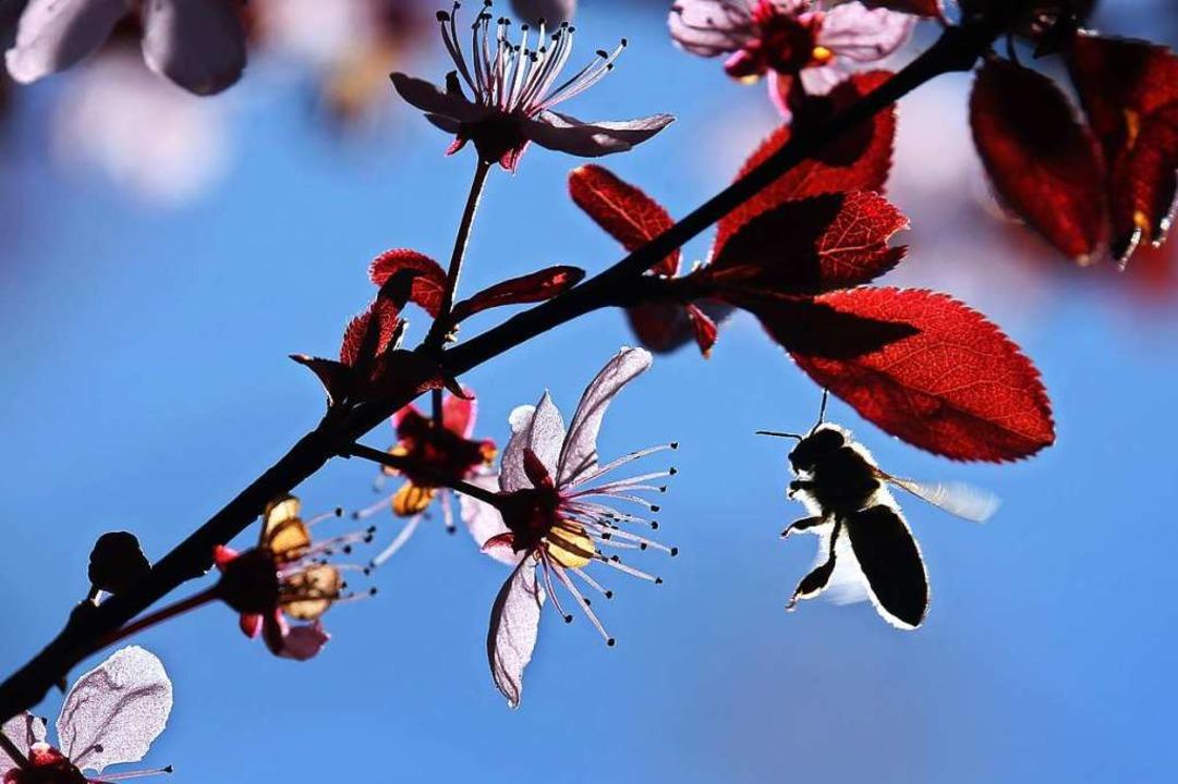 Eine Biene im Anflug auf eine Blutpflaume  | Foto: Karl-Josef Hildenbrand (dpa)