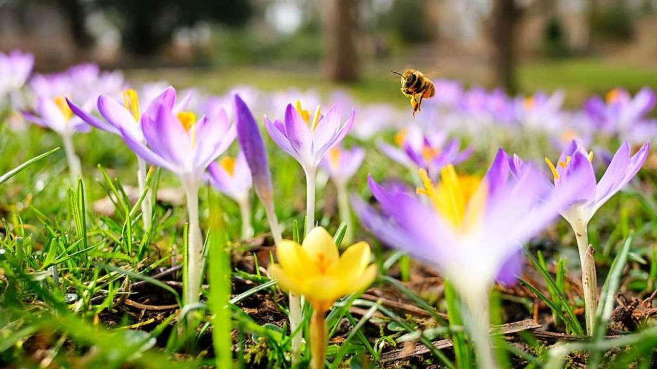 Krokusse mit Biene.  | Foto: Ole Spata (dpa)
