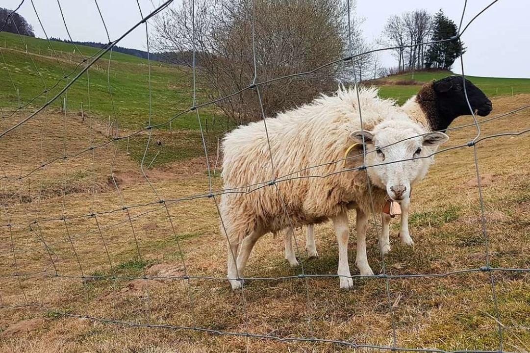 Nutztiere wie diese Schafe sollen geschützt werden.  | Foto: Gerald Nill