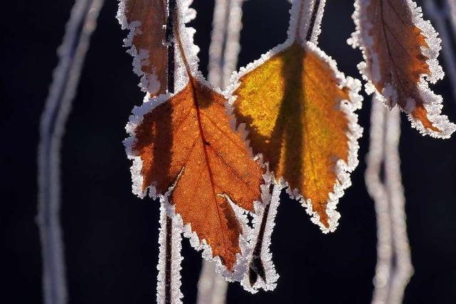 Eisig umhüllte Blätter in Bollschweil