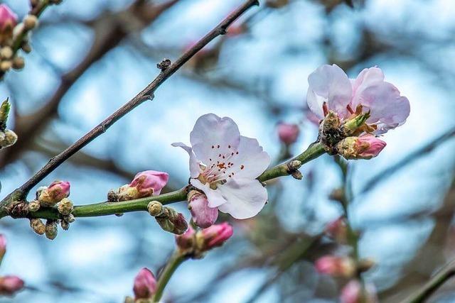 Blühende Zierkirschen im Freiburger Stadtgarten verheißen den Frühling