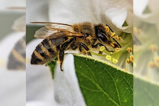 Was Biene, Hummel und Co. leisten