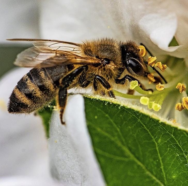 Eine Biene sammelt Nektar.  | Foto: Armin Weigel (dpa)