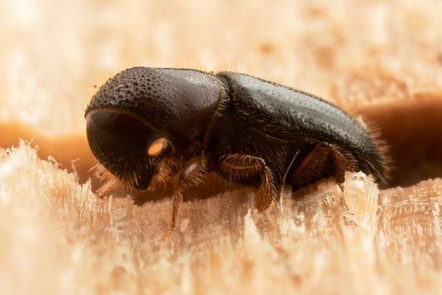 Was wir vom Sozialverhalten der Ambrosiakäfer lernen können