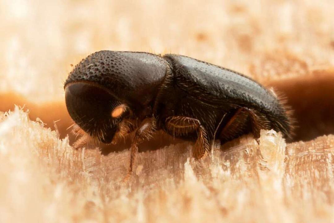 Ein Ambrosiakäfer  in seinem Gang im Baum  | Foto: Gernot Kunz