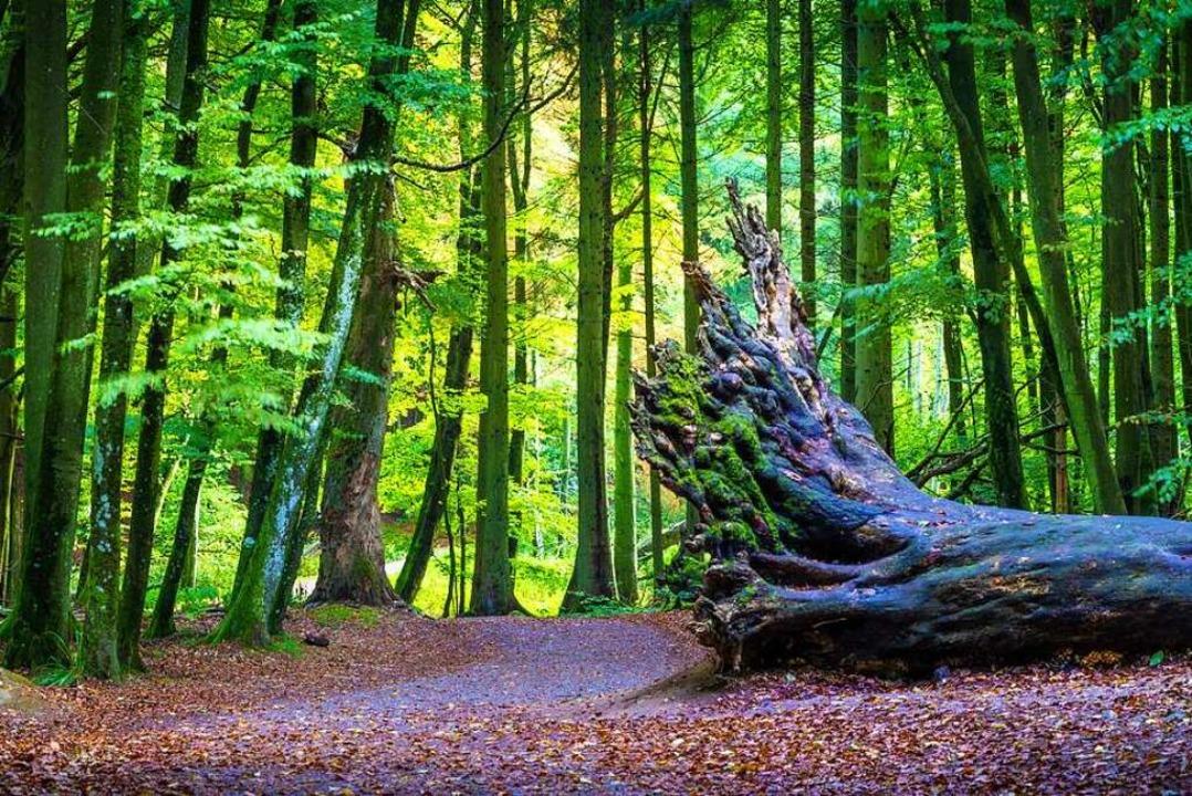 Die Ambrosiakäfer besiedeln frisches T...ch ausschließlich von Pilzen ernähren.  | Foto: kentauros (stock.adobe.com)