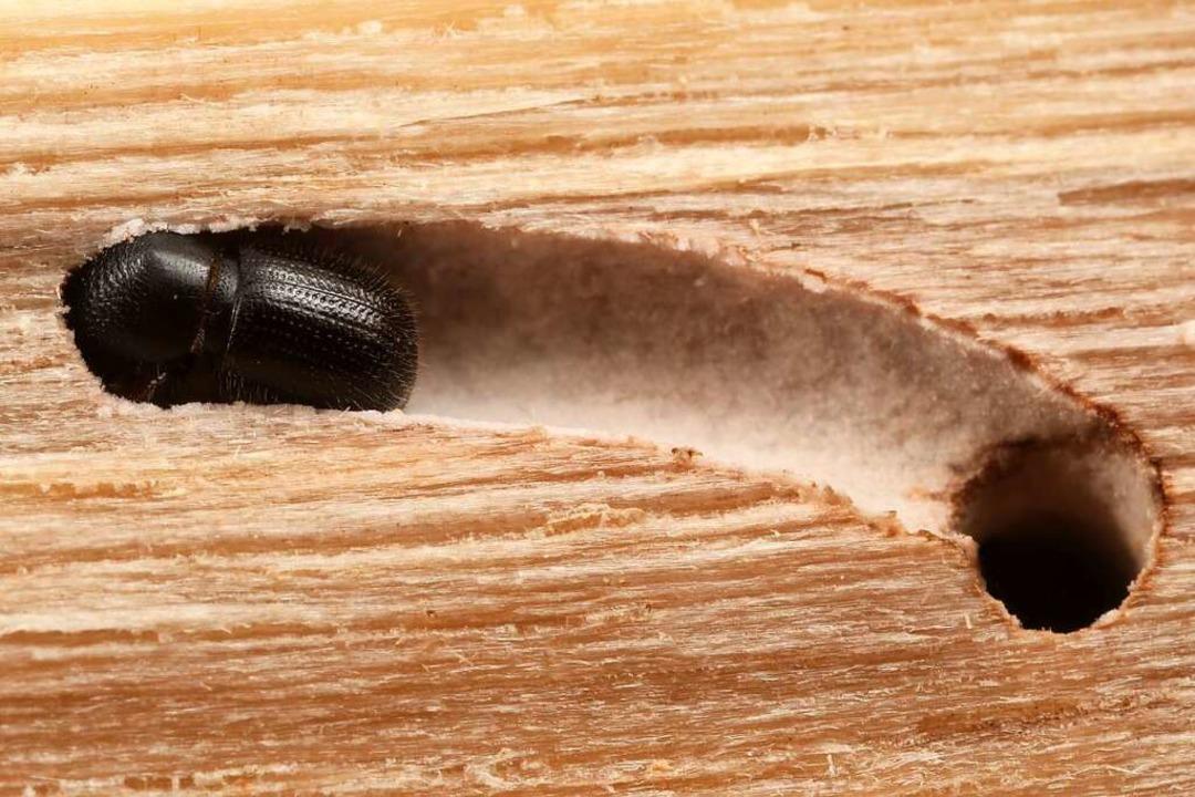 Auf diesem Foto eines Ungleichen Holzb...er Oberfläche des Käfergangs erkennen.  | Foto: Gernot Kunz