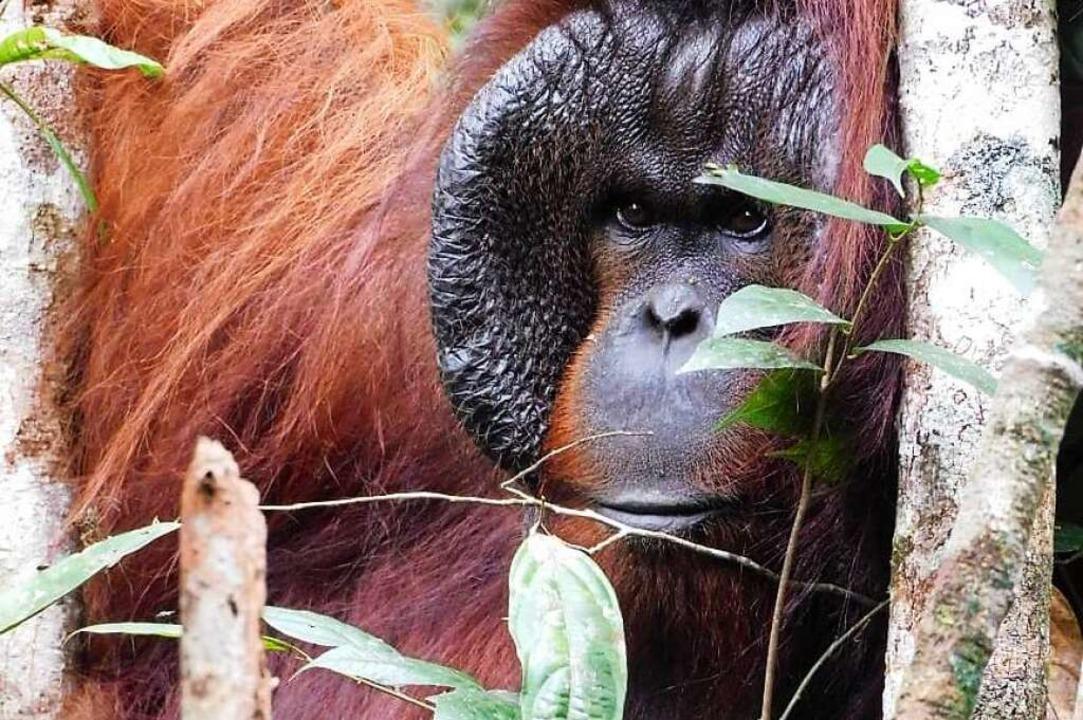 Der Affe Freet (27) im Dschungel    Foto: Ardi (dpa)