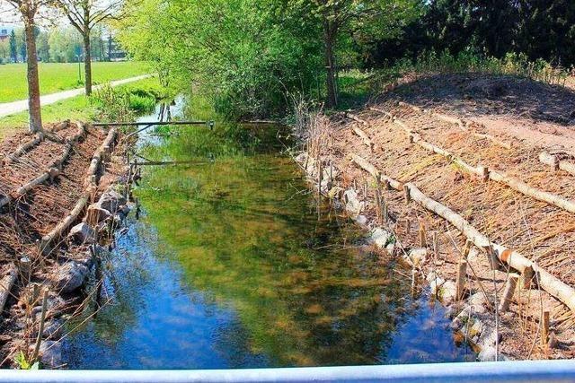 Die Neophytenbekämpfung dient auch dem Hochwasserschutz in Schopfheim