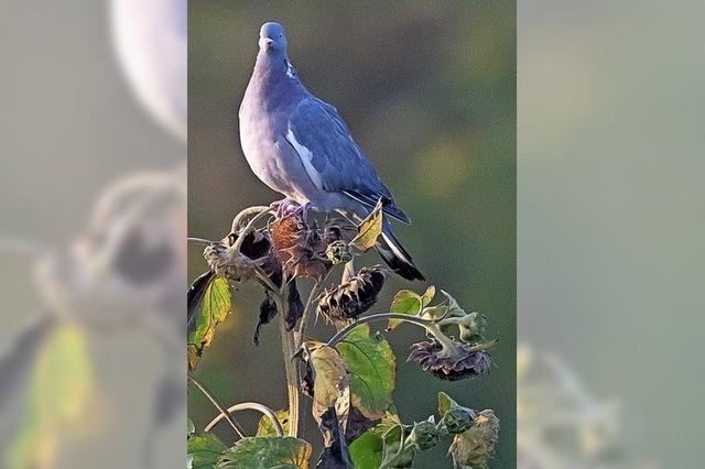 Offenbar sind Tauben nicht wichtiger als Menschen