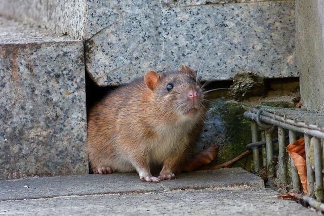 Corona treibt die Ratten in den Garten