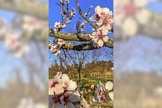 Im Südlichen Breisgau reifen die Mandelblütenträume