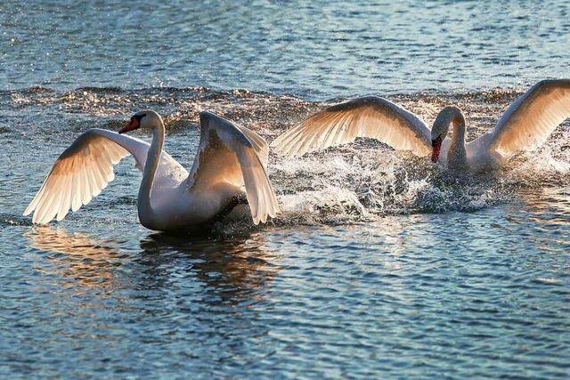 Beflügelnde Schwäne am Köndringer Baggersee