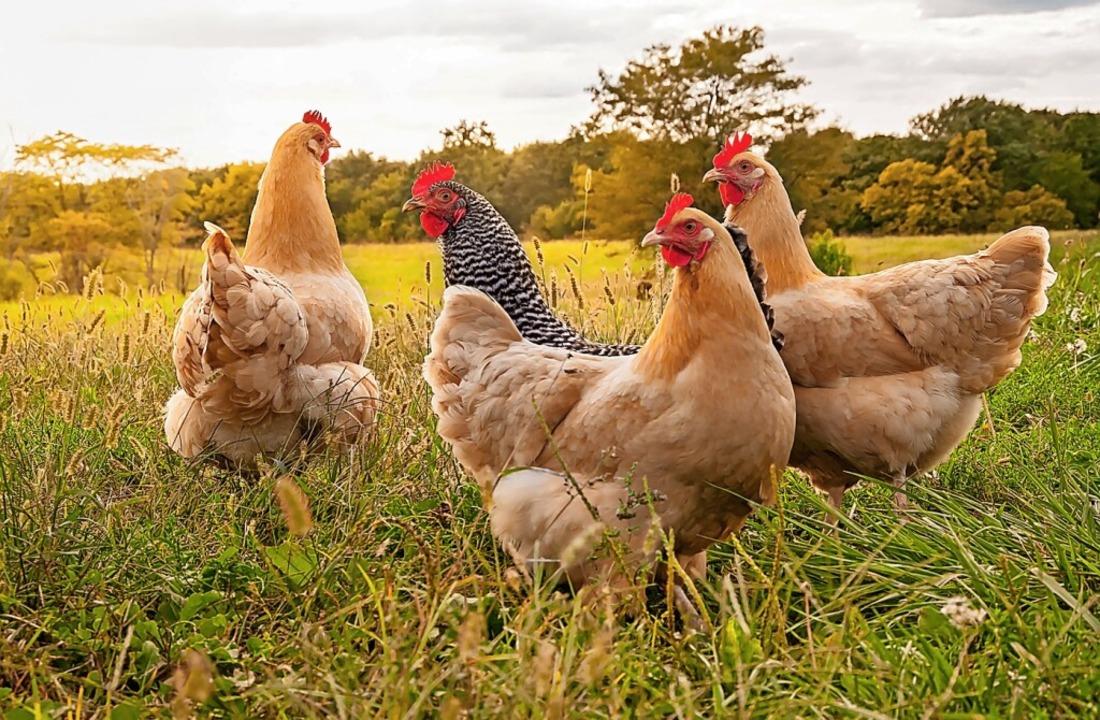 Die Robert-Schuman-Realschule darf sic...ung gehört auch das Thema Tierhaltung.  | Foto: Caleb I Harper (dpa)