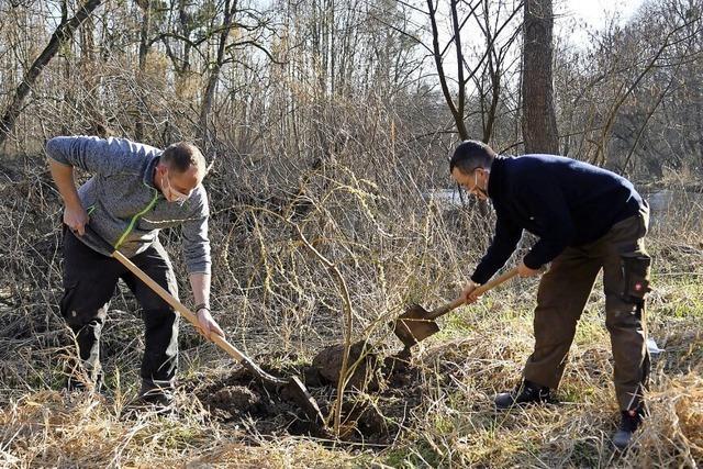 Gesangverein Altenheim pflanzt Bäume