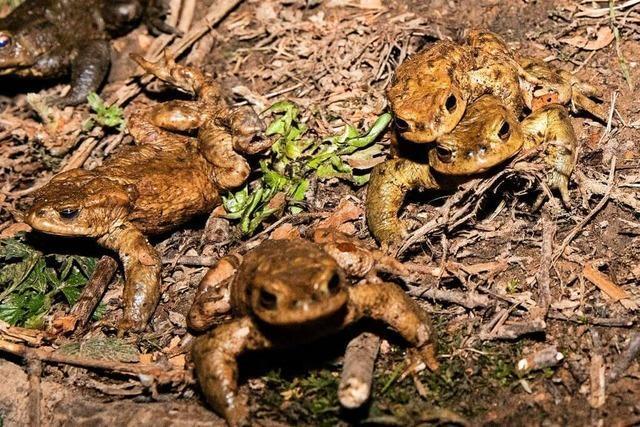In Waldkirch wird Kröten beim Wandern geholfen