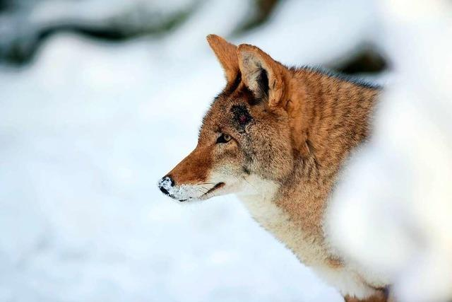 Vancouver: Wo Kojoten gerne Jogger jagen