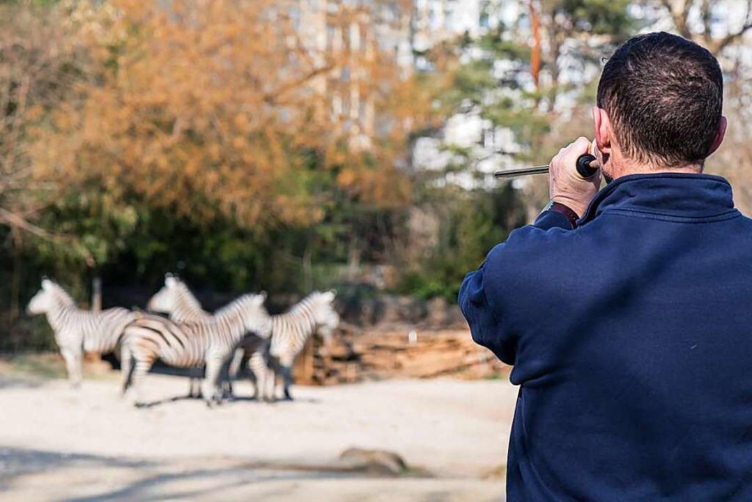 Zebras im Basler Zoo werden per Blasrohr geimpft.    Foto: Zoo Basel (Torben Weber)