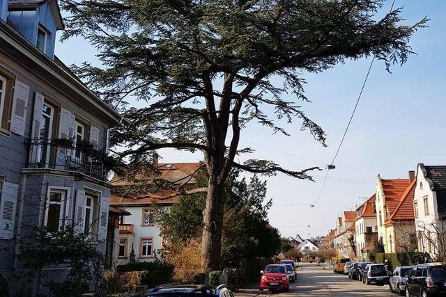 Ein Baum, der wirkte, als wolle er alle umarmen, die unter ihm spazieren