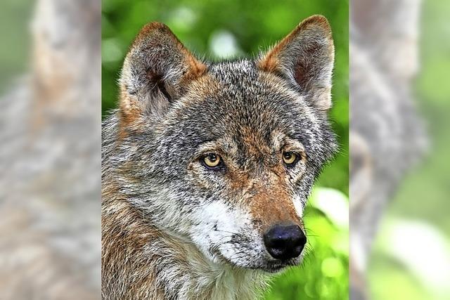 Noch mehr Zäune gegen die Wolfsgefahr im Tal?