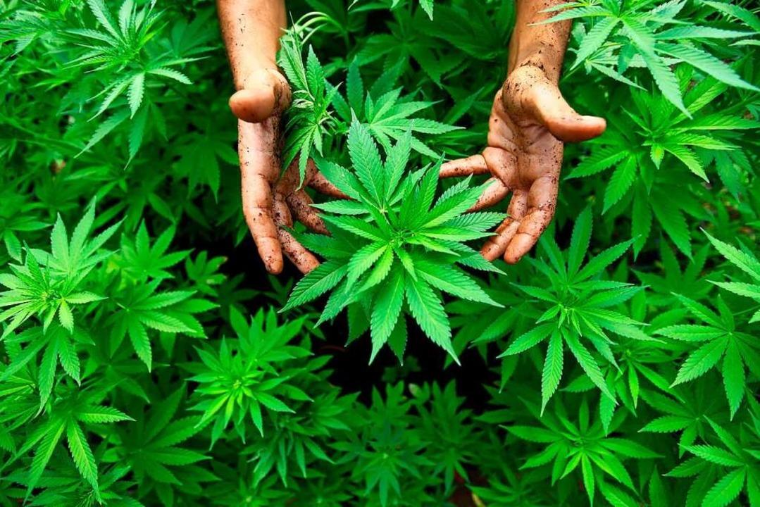 Marihuana-Pflanzen  | Foto: ABIR SULTAN