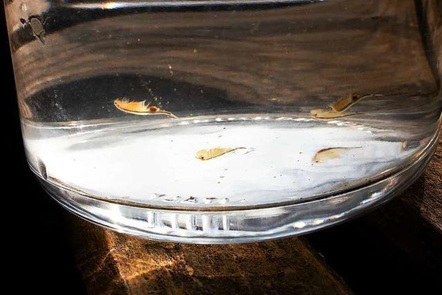 Die seltenen Urzeitkrebse im Eichener See sind geschlüpft