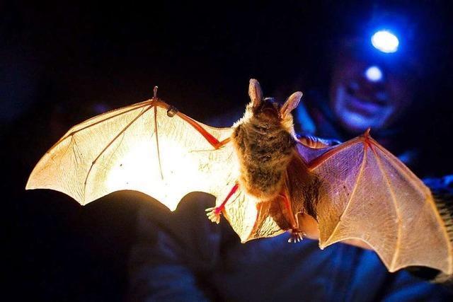 Am Tüllinger Berg zwischen Lörrach und Weil fühlen sich Fledermäuse wohl