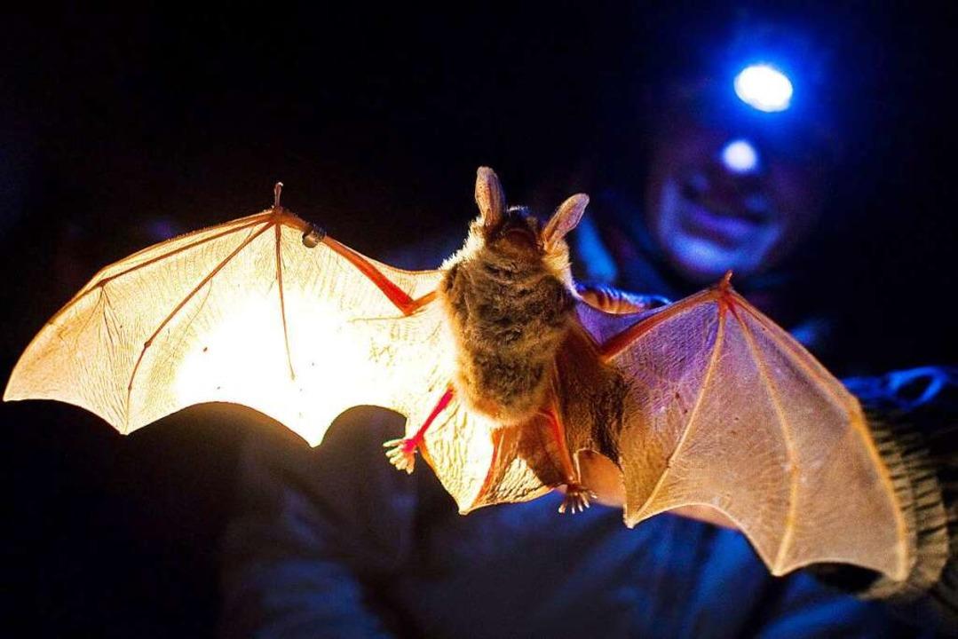 Wo es, wie am Tüllinger, viele  Fledermäuse gibt, ist die Natur noch intakt.  | Foto: Patrick Pleul